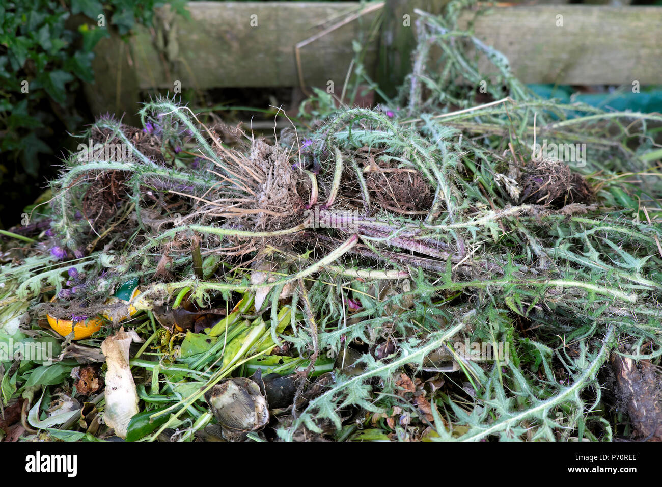 Dead Thistle Plants Garden Waste Chucked On A Food Compost Heap In Rural  Wales UK KATHY DEWITT