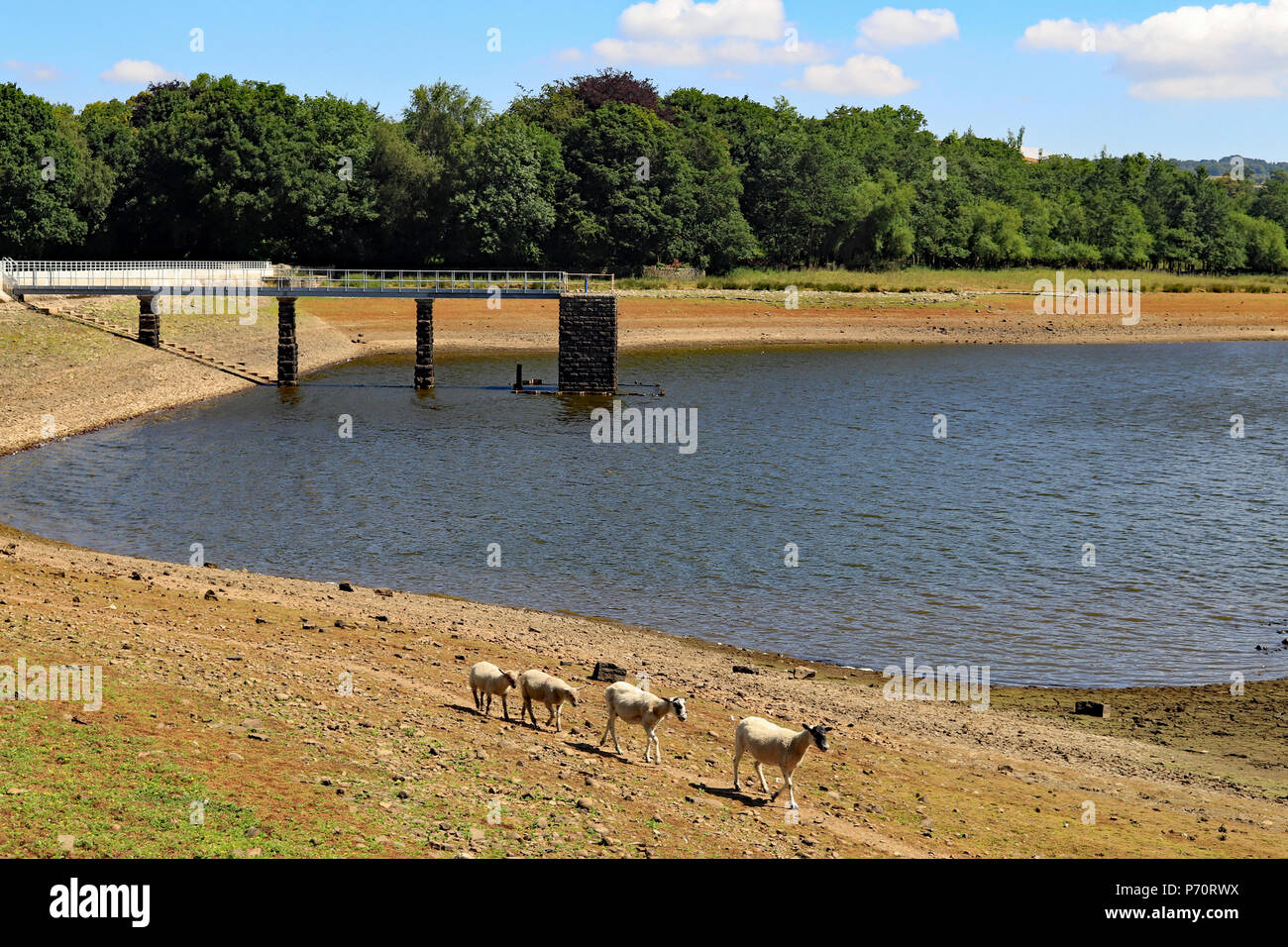 Foulridge upper reservoir on the morning of Tuesday 3.7.18 showing the low water levels and some of the local sheep having a wander round. - Stock Image