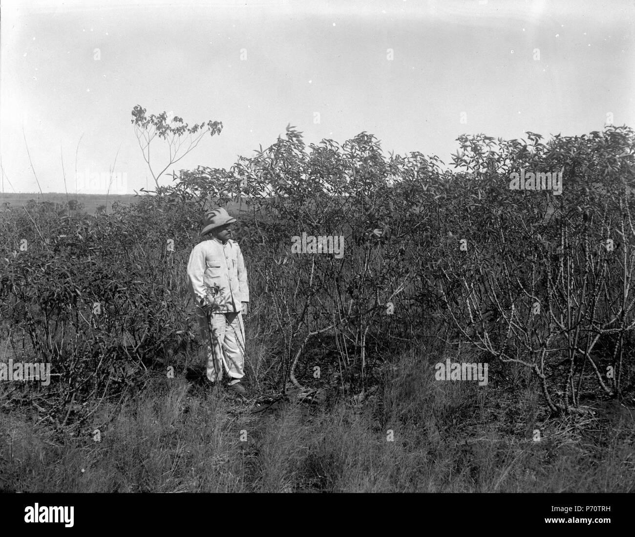 39 Manjokplantering, 2 år gammal. S-te Marie de Marovoay. Madagaskar - SMVK - 021970 - Stock Image