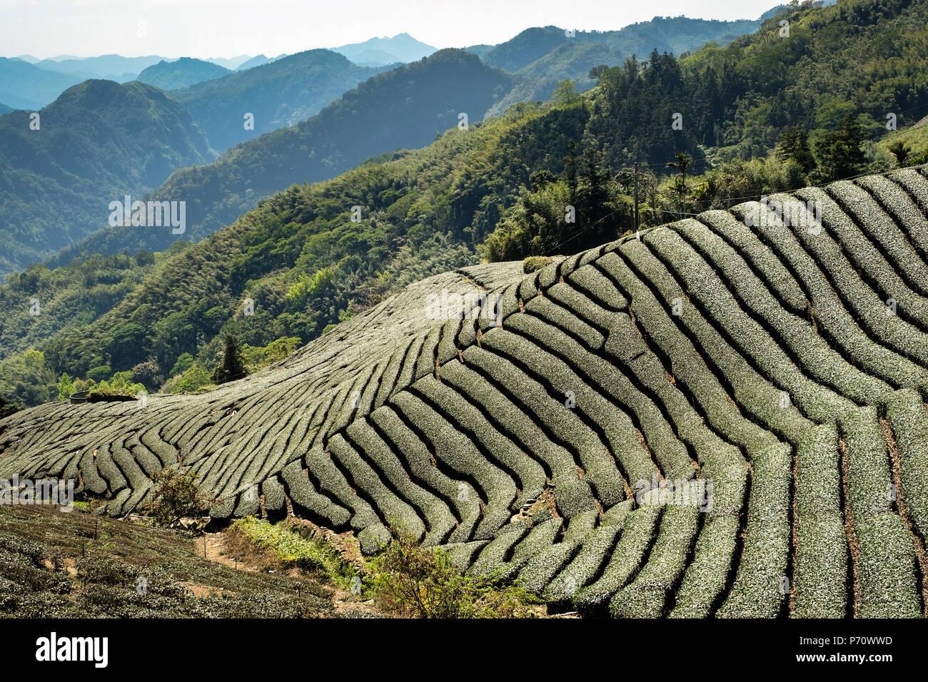 Tea plantations at Yuyu Pass in Alishan Mountains, Chiayi, Taiwan