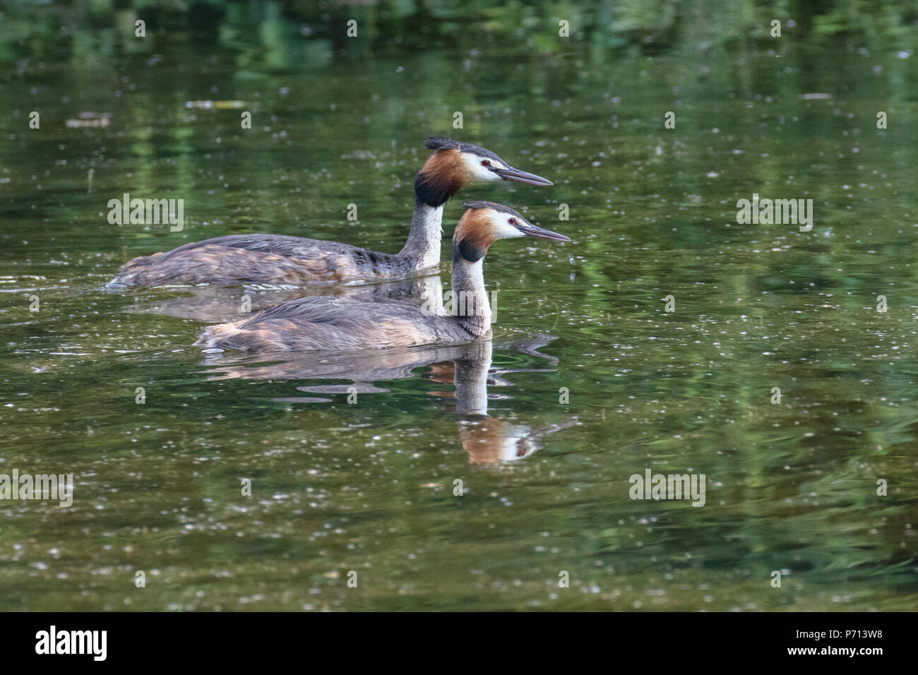 Pair of great crested grebes (Podiceps cristatus) - Stock Image