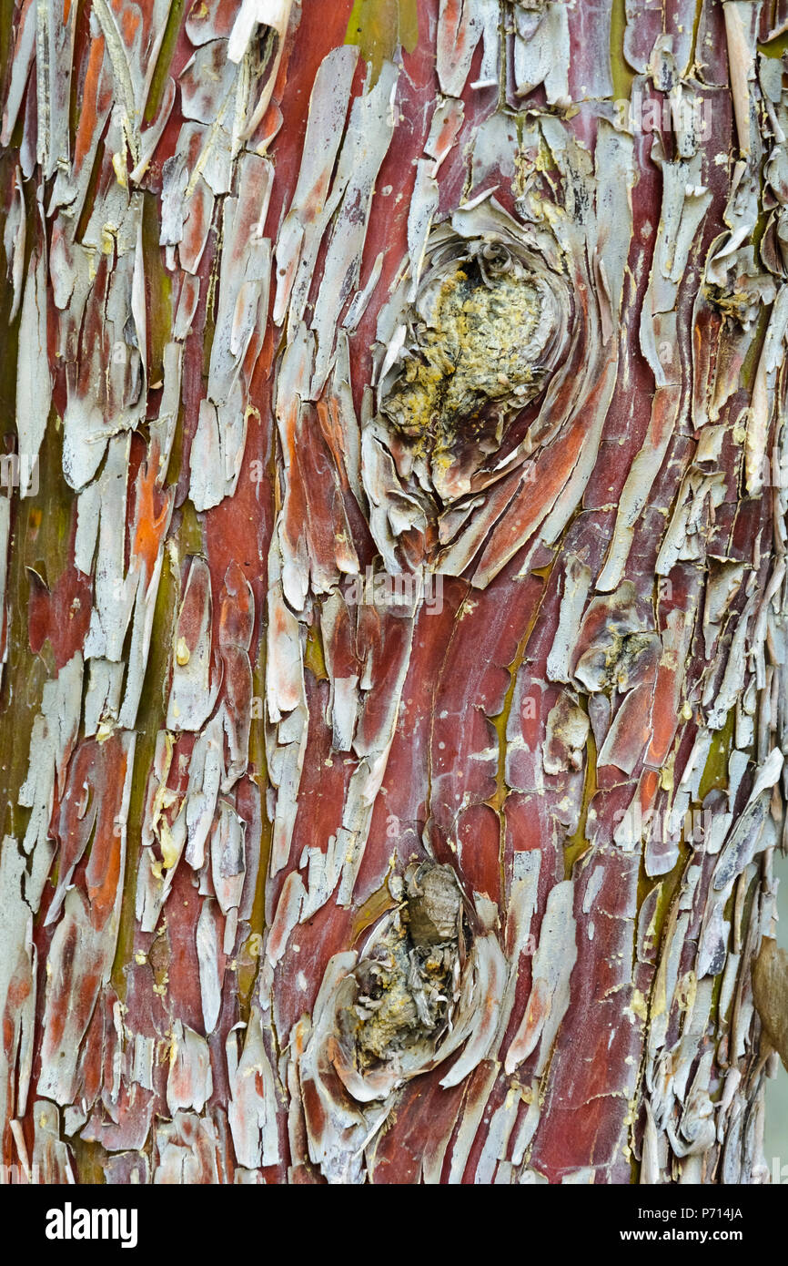 colorful piled bark on a old tree, green yellow , red texture Stock Photo