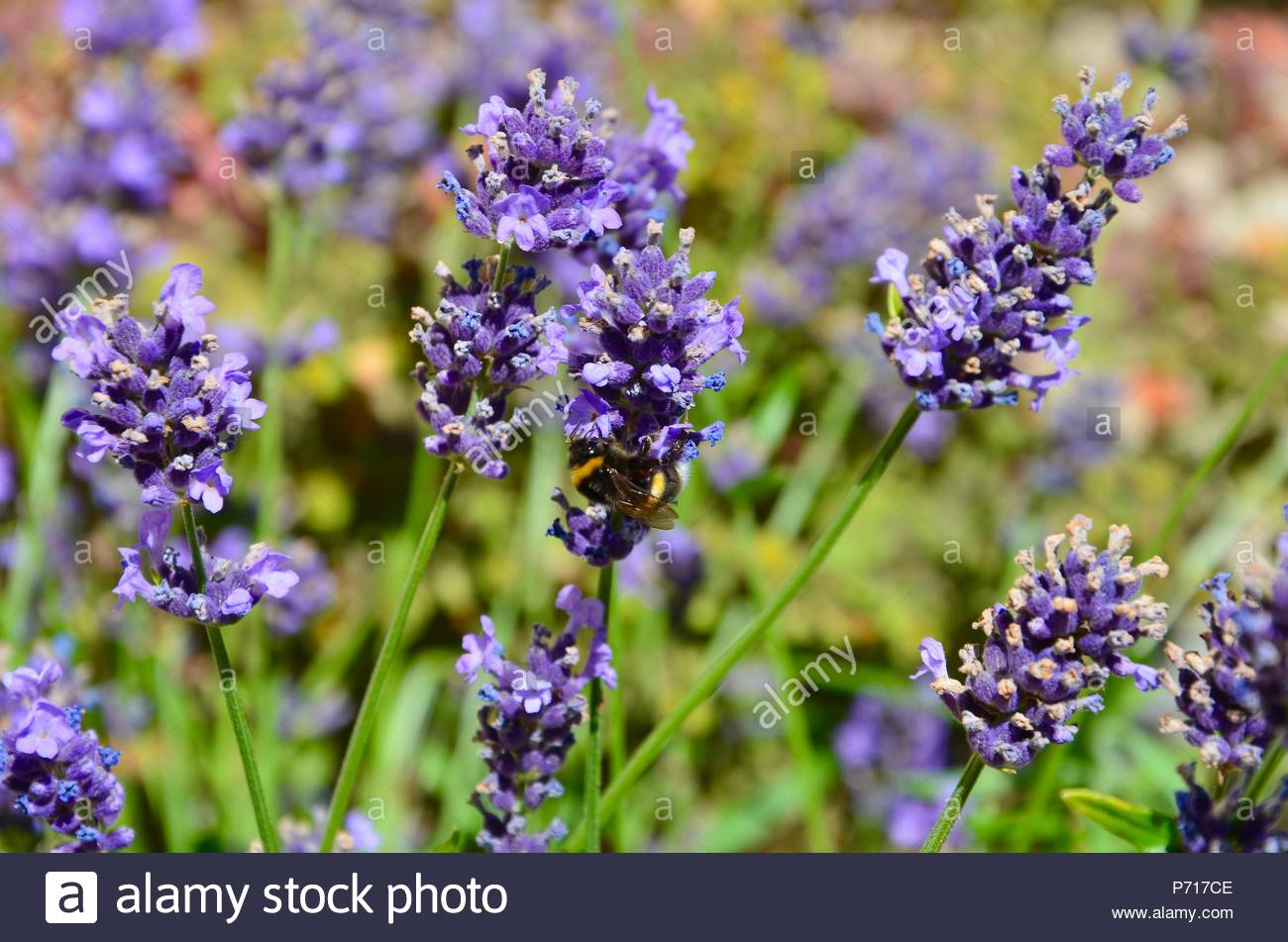 Bumblebee collecting nectar of blooming lavender, summer, honey