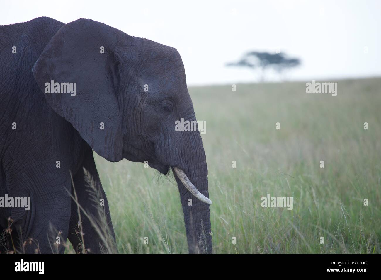 A female African elephant walks through long grass in the fading light of the day in the Serengeti, Tanzania - Stock Image