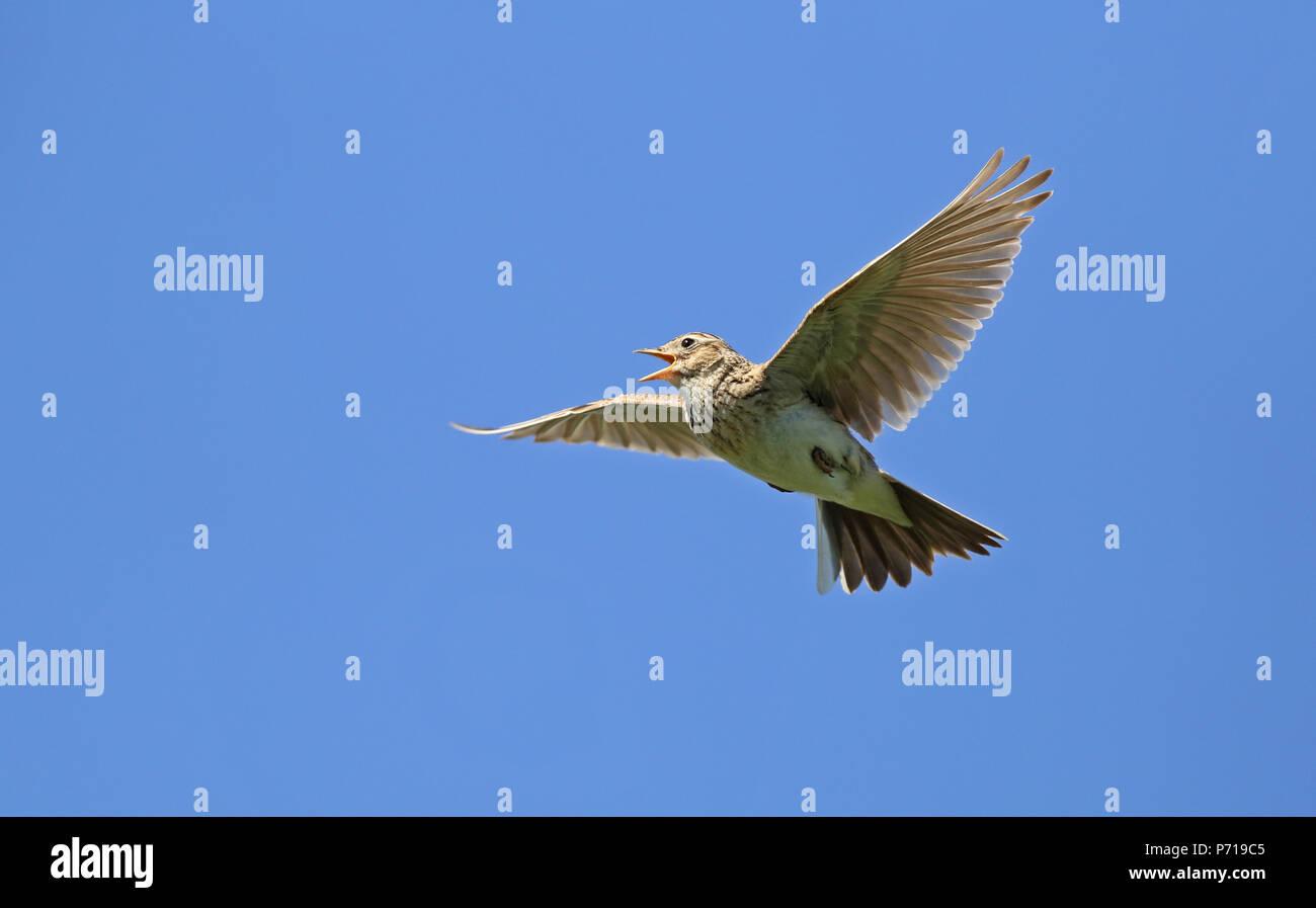 Eurasian skylark (Aluda arvensis) - Stock Image