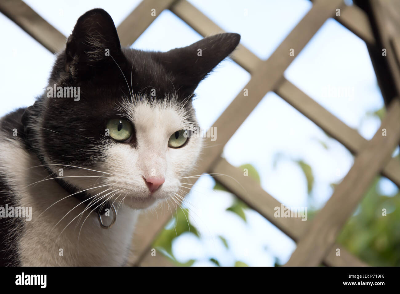 Closeup of a young, black and white cat's face - watching something - Stock Image