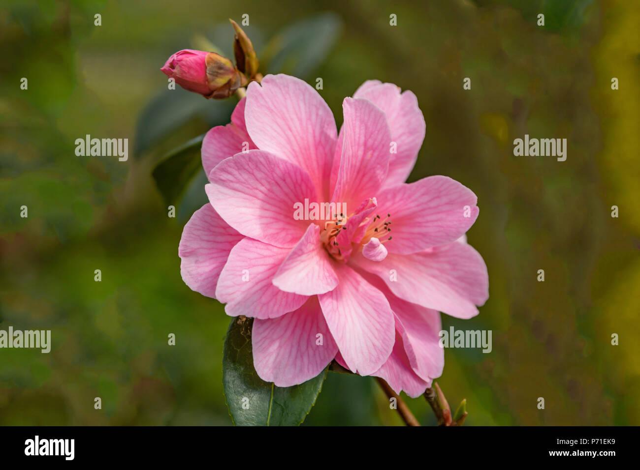 Flowering pink Camellia in Bodnant Garden, near Tal-y-Cafn, Conwy, Wales, United Kingdom, - Stock Image