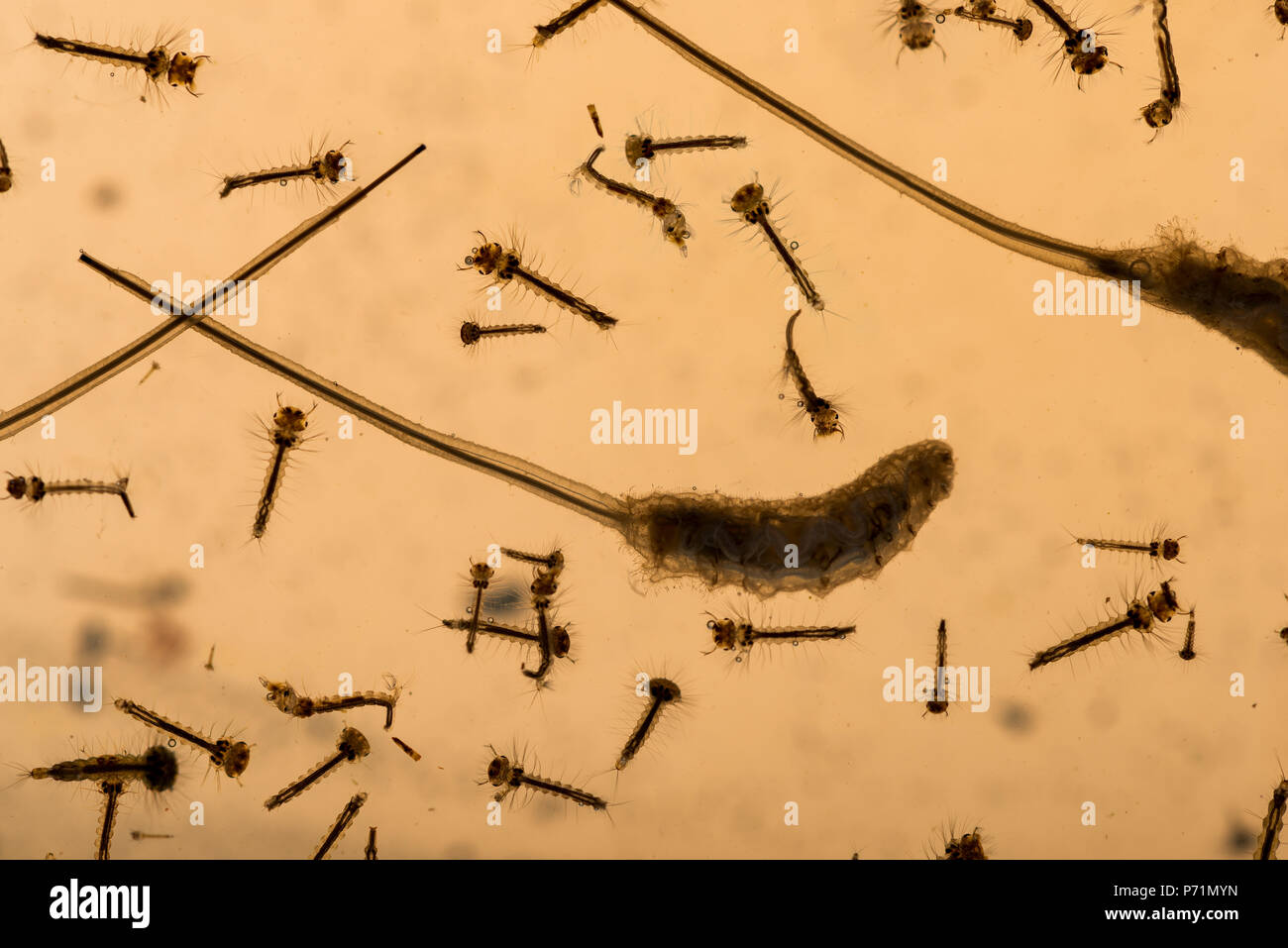 Mosquito Culicidae pupae and larvae along with drone fly maggots wriggling in grimy nutrient rich nitrogen pond water of varying stages of development - Stock Image