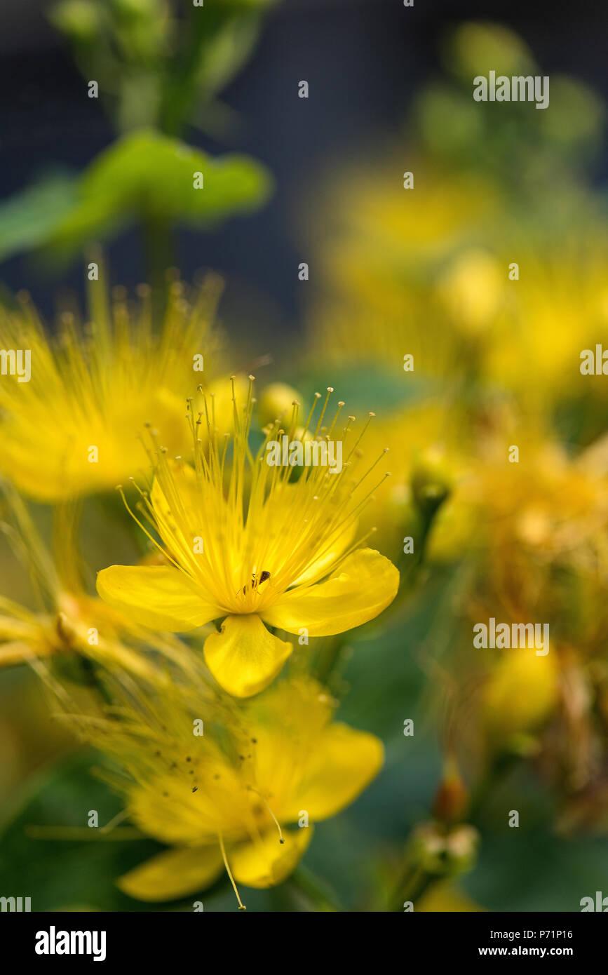 Yellow Garden Shrub Flowers Hypericum Flowers Stock Photo 210866242