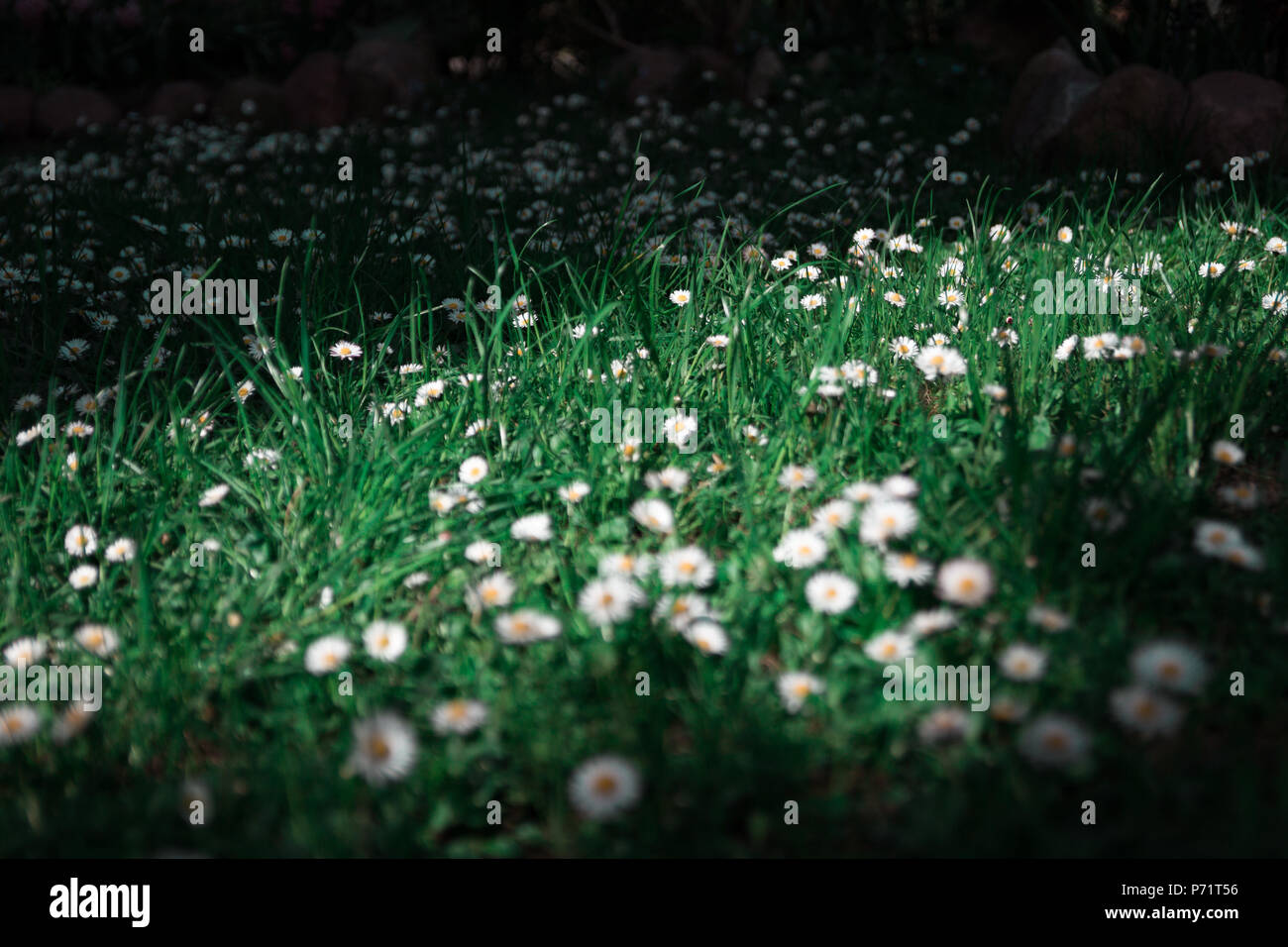 Beatiful flowers in the garden, good weather - Stock Image