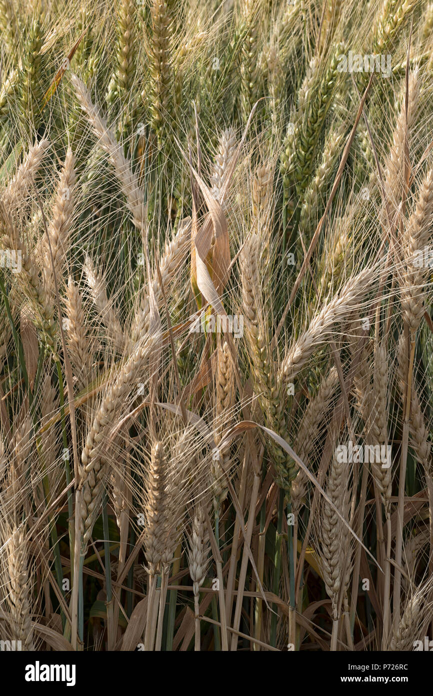 Close up vertical of wheat - Stock Image