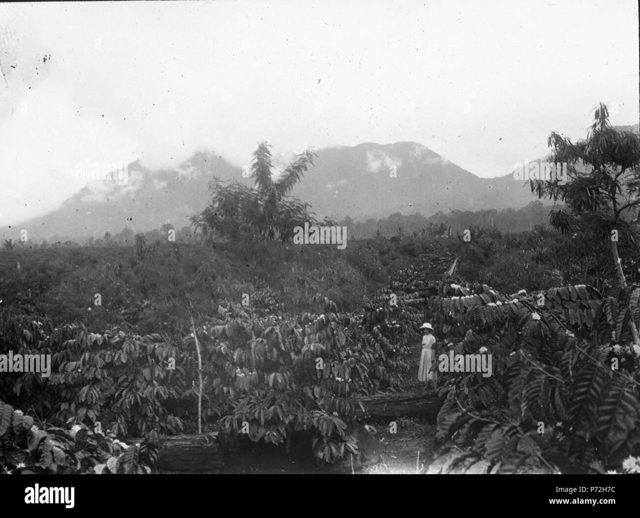 35 Kaffeplantage i Modajág. Sulawesi. Indonesien - SMVK - 1997D - Stock Image