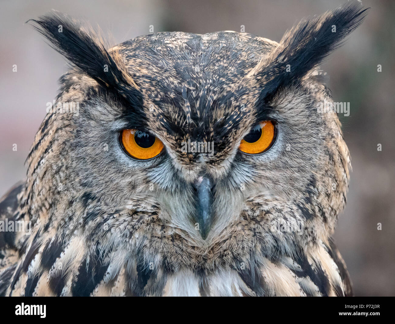 Spotted owl with orange-yellow eyes keeps an eye on his surroundings - Stock Image