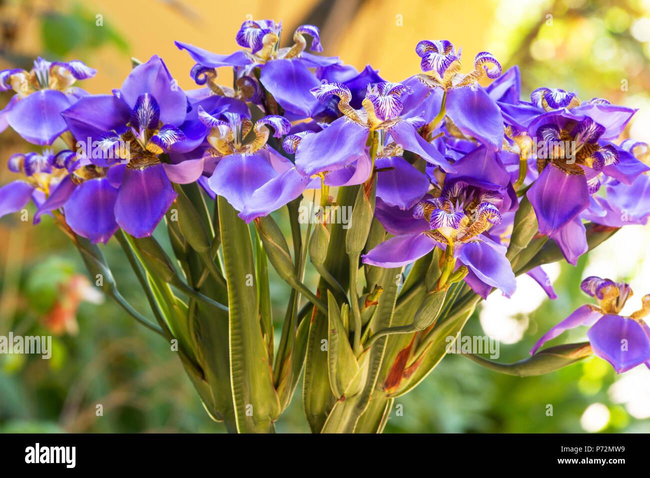 Iris Lily Stock Photos Iris Lily Stock Images Alamy