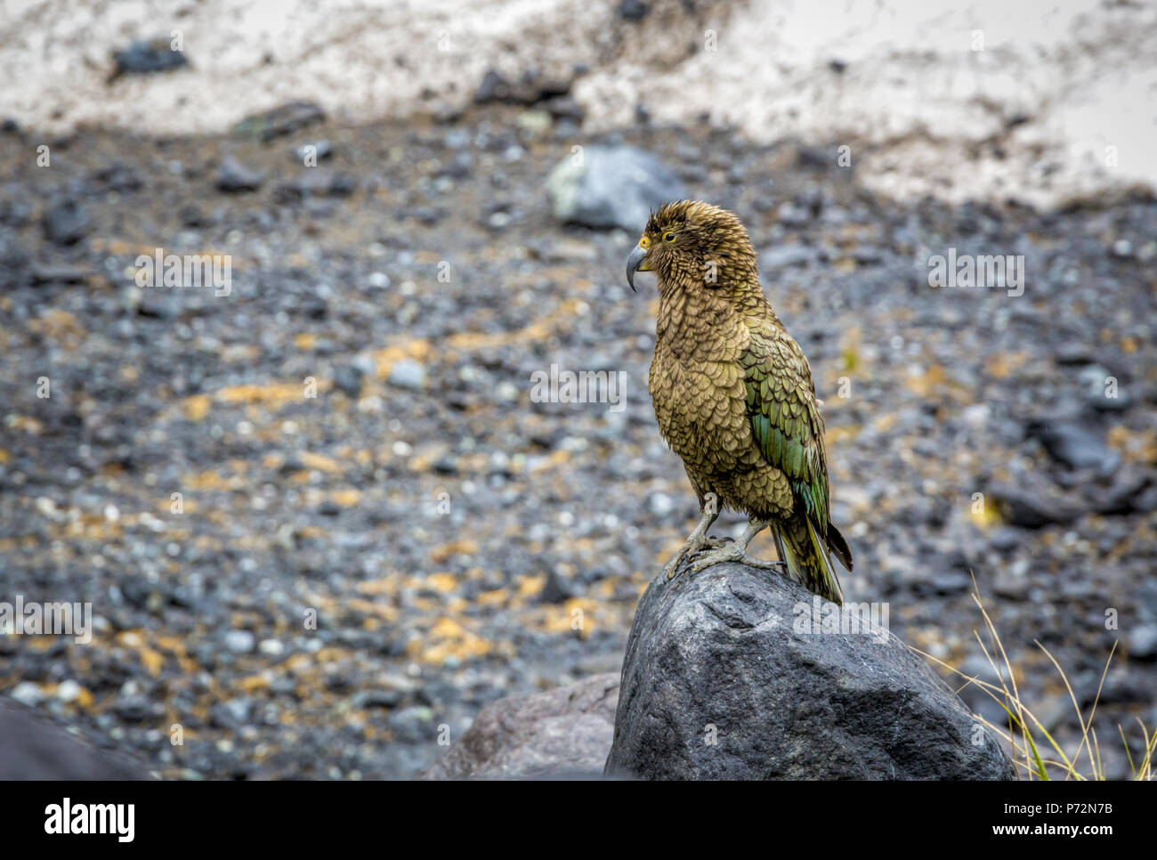 Kea Parrot perched on a rocket a snowy valley in the fiordland National Park on the southern island of New Zealand. - Stock Image