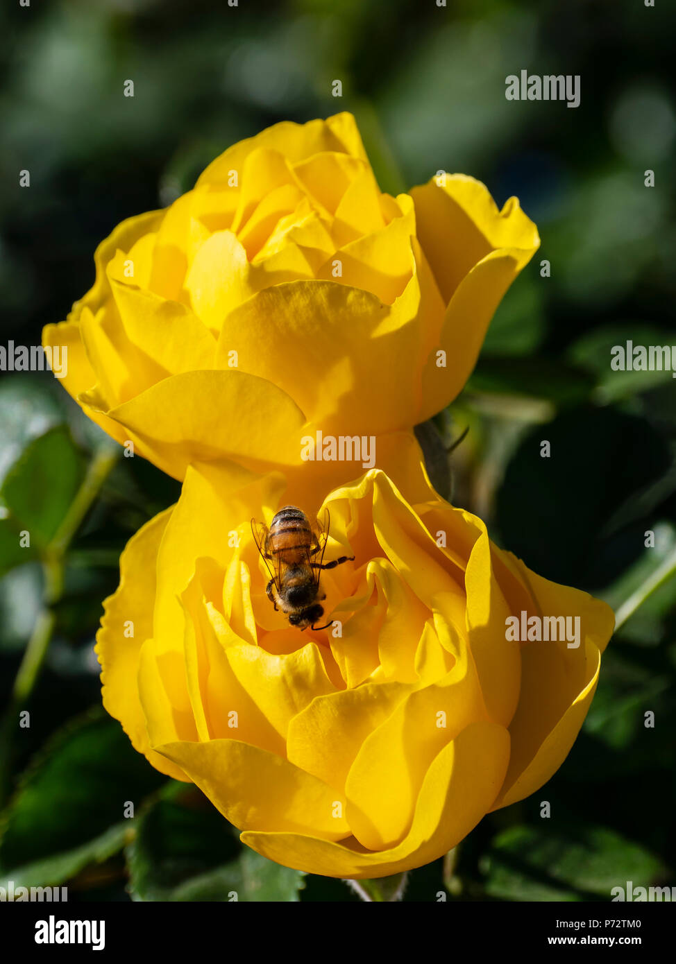 A bee feasts on Walking on Sunshine rose blossoms, Inez Grant Parker Memorial Rose Garden, Balboa Park, San Diego, California. - Stock Image