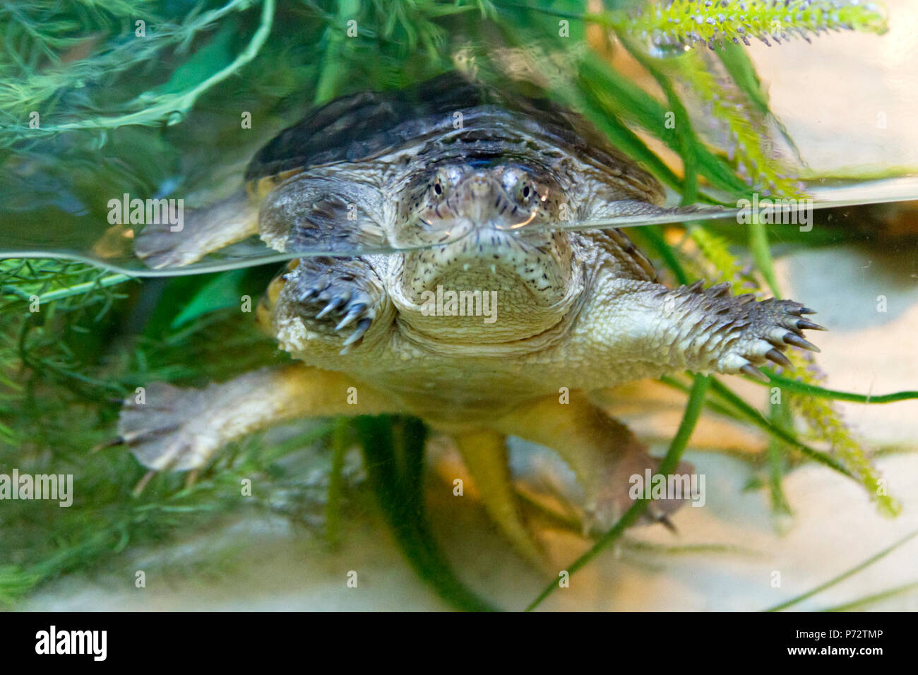 Close Up Of A Common Snapping Turtle A Large Reptile That Is Highly