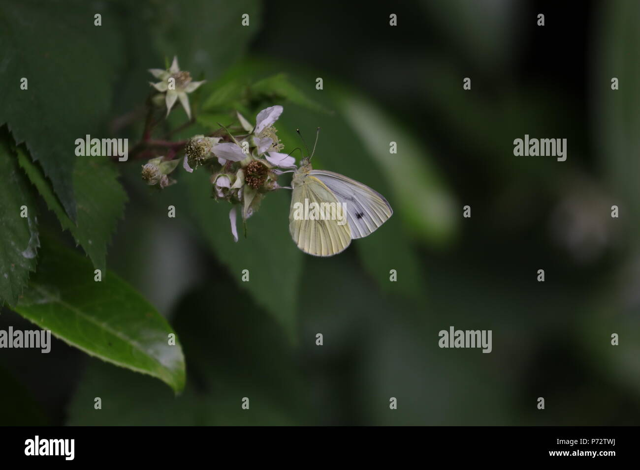 Lovely green veined white female (second brood) butterfly - Stock Image