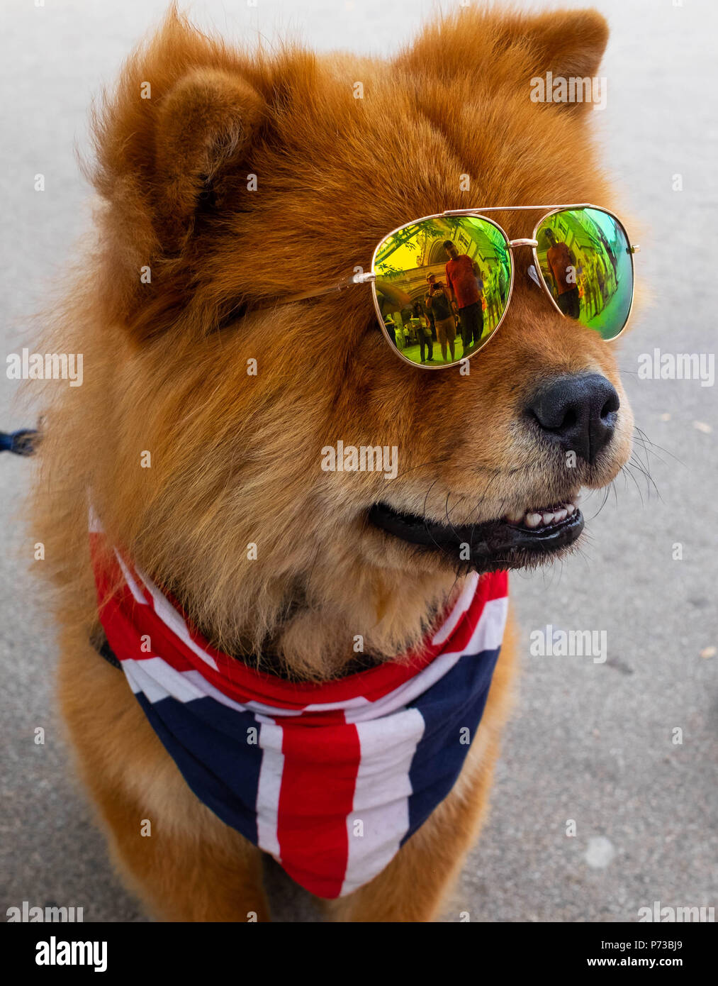 London, England. 4th July 2018. A small dog wears the Union Jack in support of England's success in the World Cup. He wore shades due to the current heatwave in London. ©Tim Ring/Alamy Live News Stock Photo