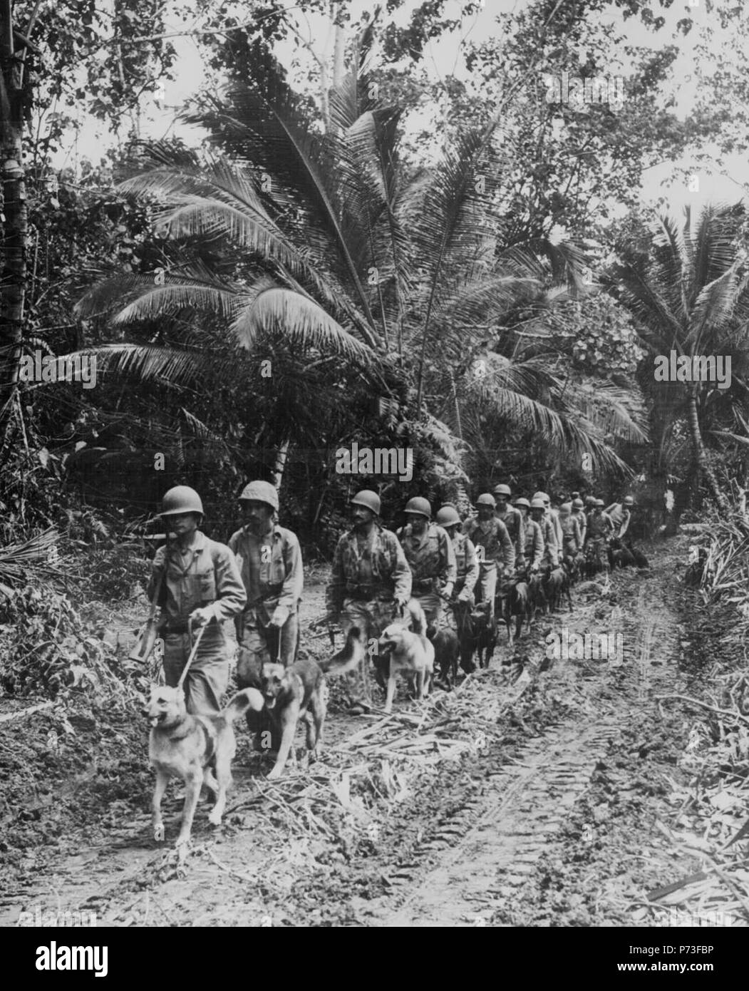 Marine Raiders take scouting and messenger dogs to the frontlines on Bougainville, late 1943 - Stock Image