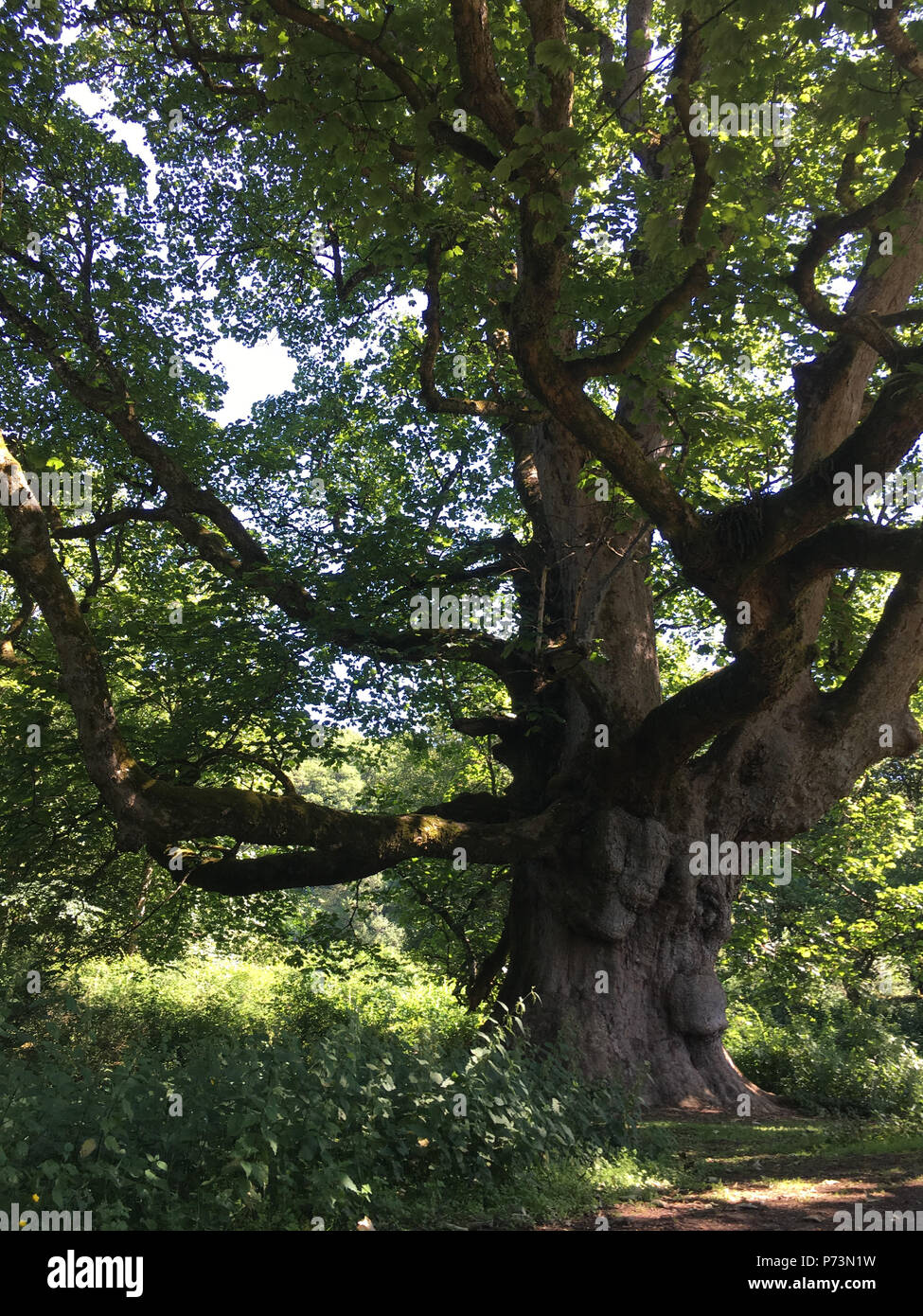 'Young Pretender' 300-year old Sycamore tree, in Birnam Wood, Dunkeld, Scotland, on 1 July 2018. - Stock Image