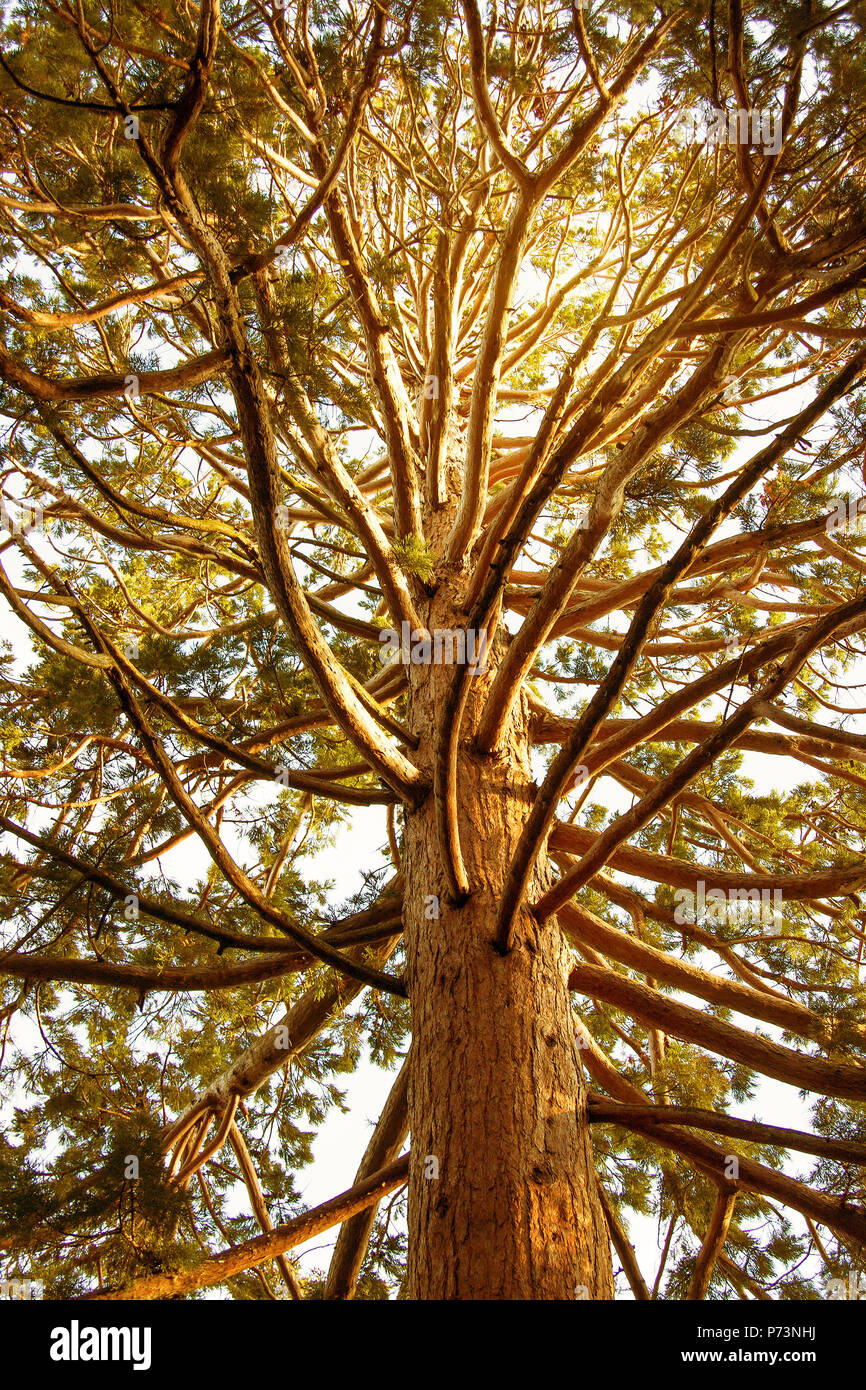 View of the crown and trunk of a giant sequoia (Sequoiadendron giganteum ) close-up Stock Photo