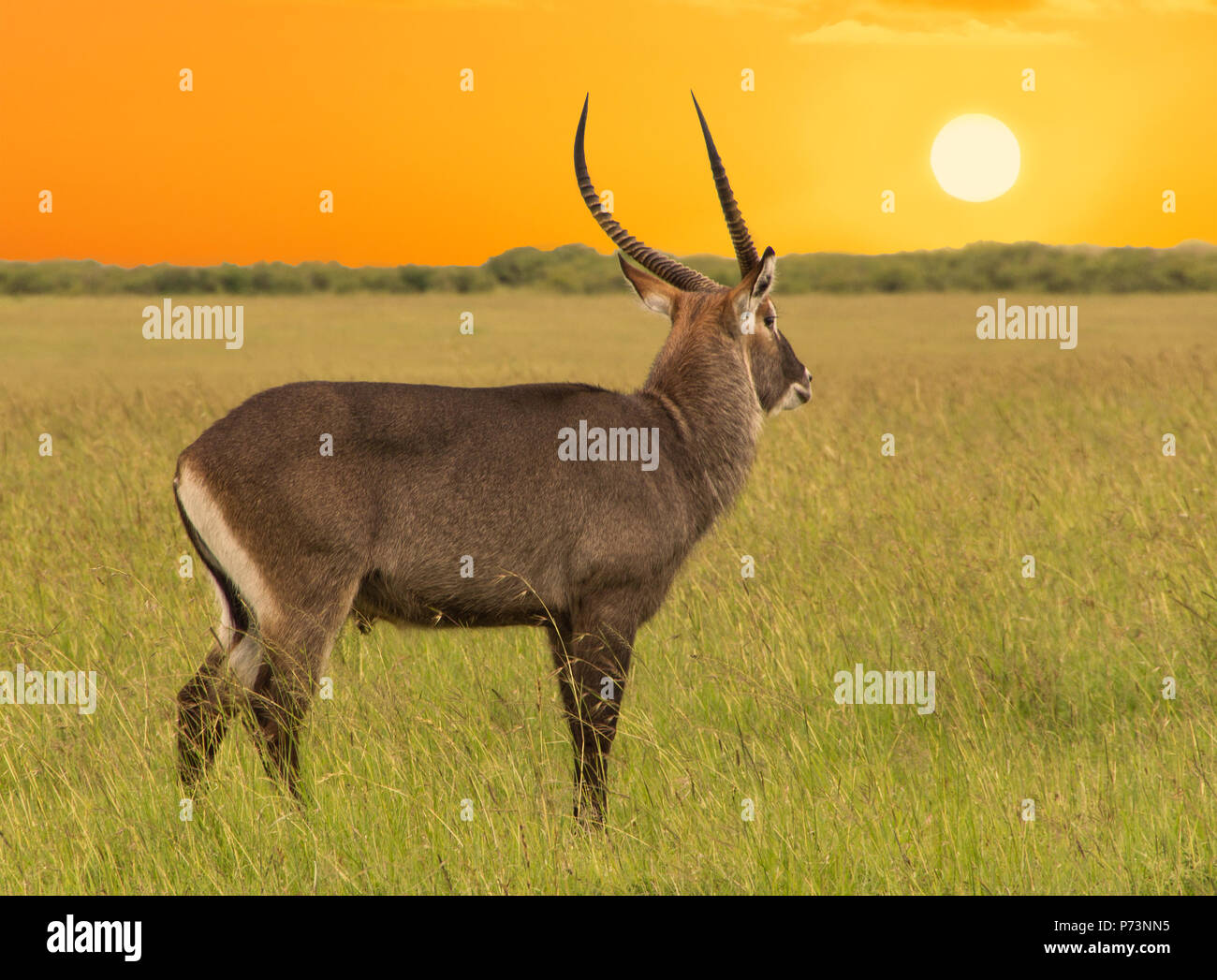 The male antelope in the vast african savannah at sunset - Stock Image