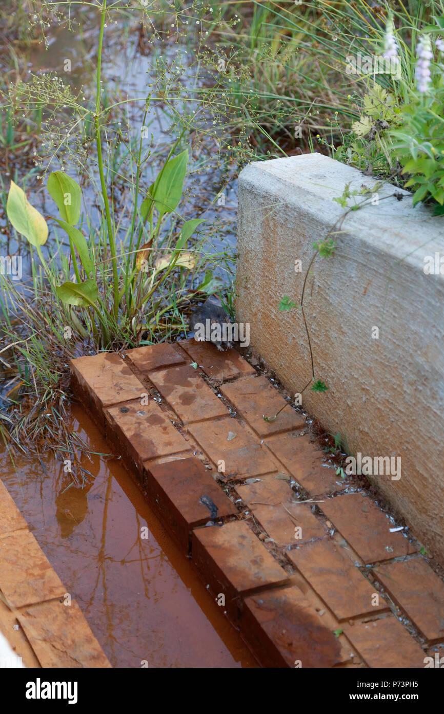 Large rat on drain platform by pond - Stock Image