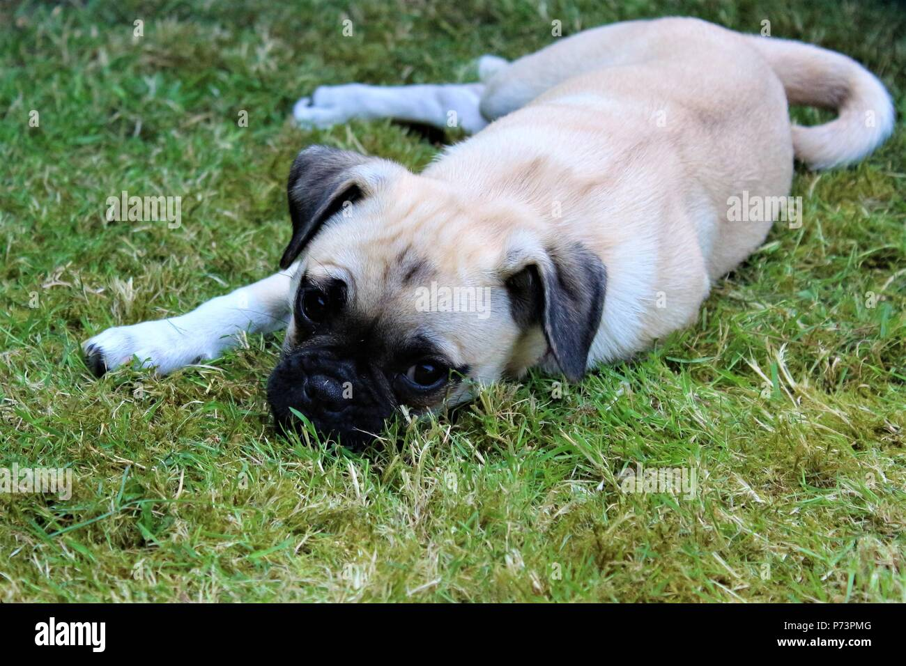 A three month old female Chug (Chihuahua cross Pug) puppy in a garden - Stock Image