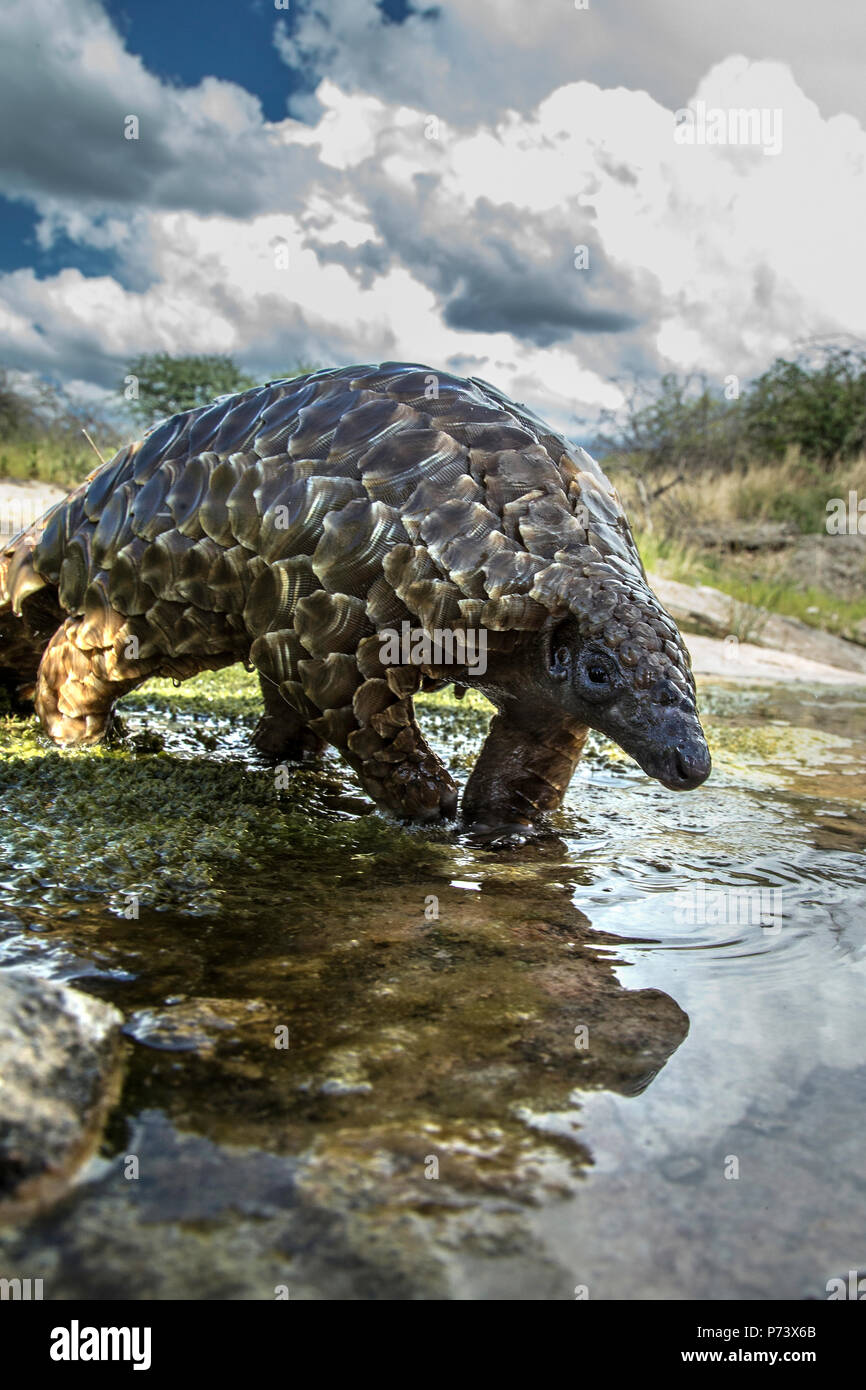 Cape or Temminck's ground pangolin - Manis temminckii –  is on the CITES Red List as Critically Endangered.  This pangolin is crossing a small stream  - Stock Image