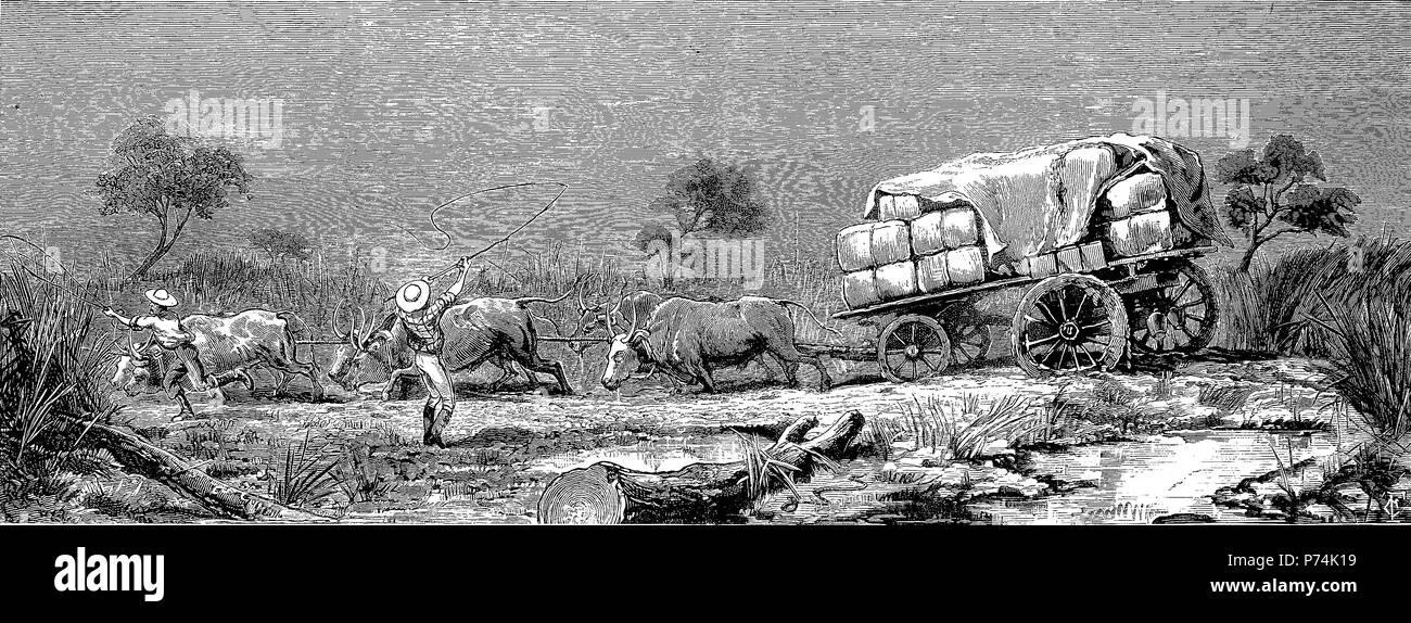 the war in the Transvaal, 1881, the transport difficulty, a bullock team in a swamp, First Boer War, also First Anglo-Boer War, the Transvaal War or the Transvaal Rebellion, 1880 - 1881 , digital improved reproduction from an original print from the year 1881 - Stock Image