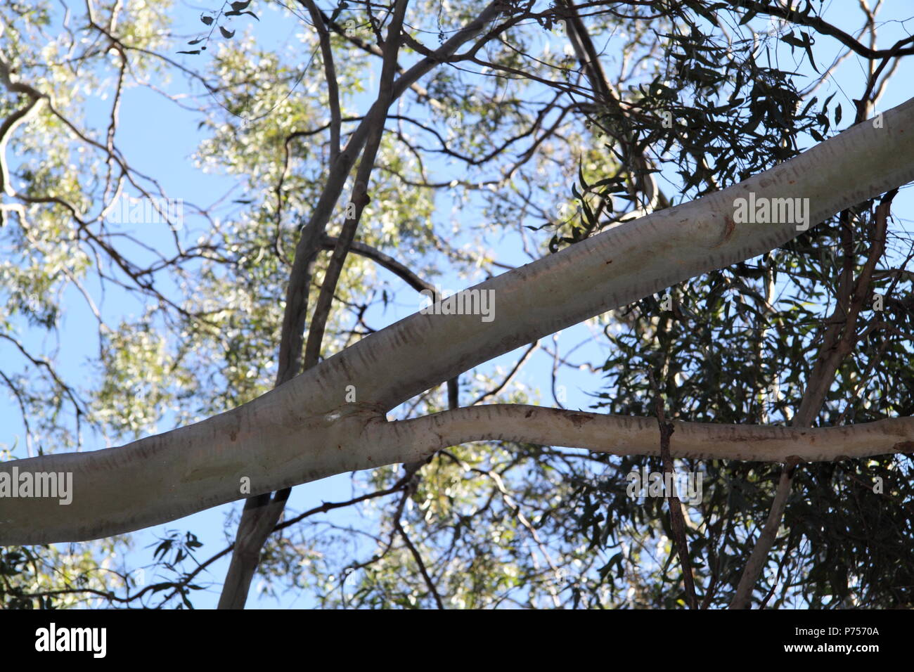 Branch of the Brittle Gum (Eucalyptus Mannifera) - Stock Image