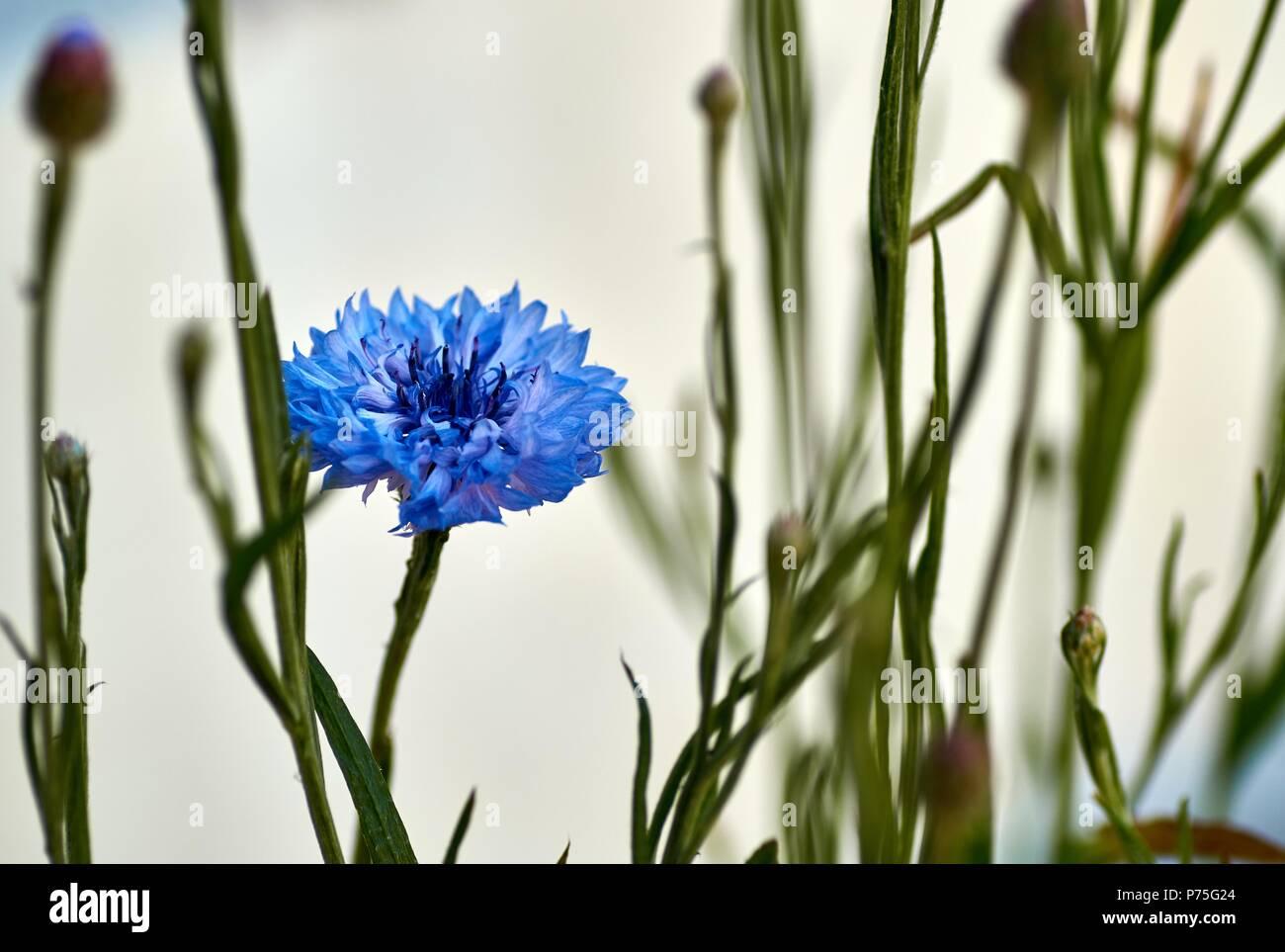Golden Everlasting Flowers Or Strawflowers For Background Stock