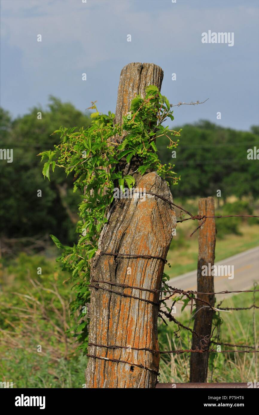 Kansas Wild Grapes on a Fence post shot closeup with blue sky and a gate with barb wire. That's shot vertical. West of Hutchinson Kansas. - Stock Image