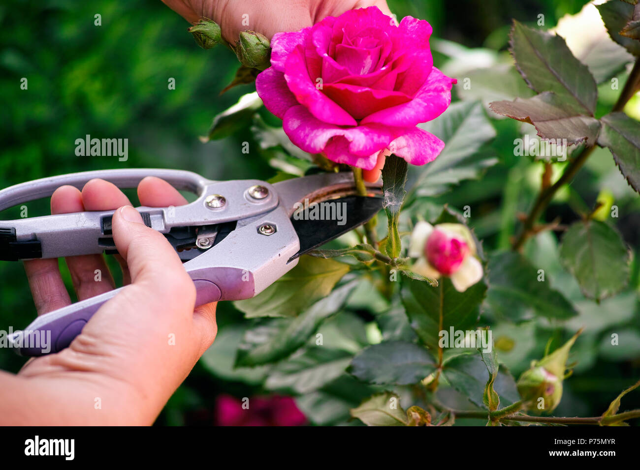 Woman hands with gardening shears cutting pink rose of the bush. - Stock Image