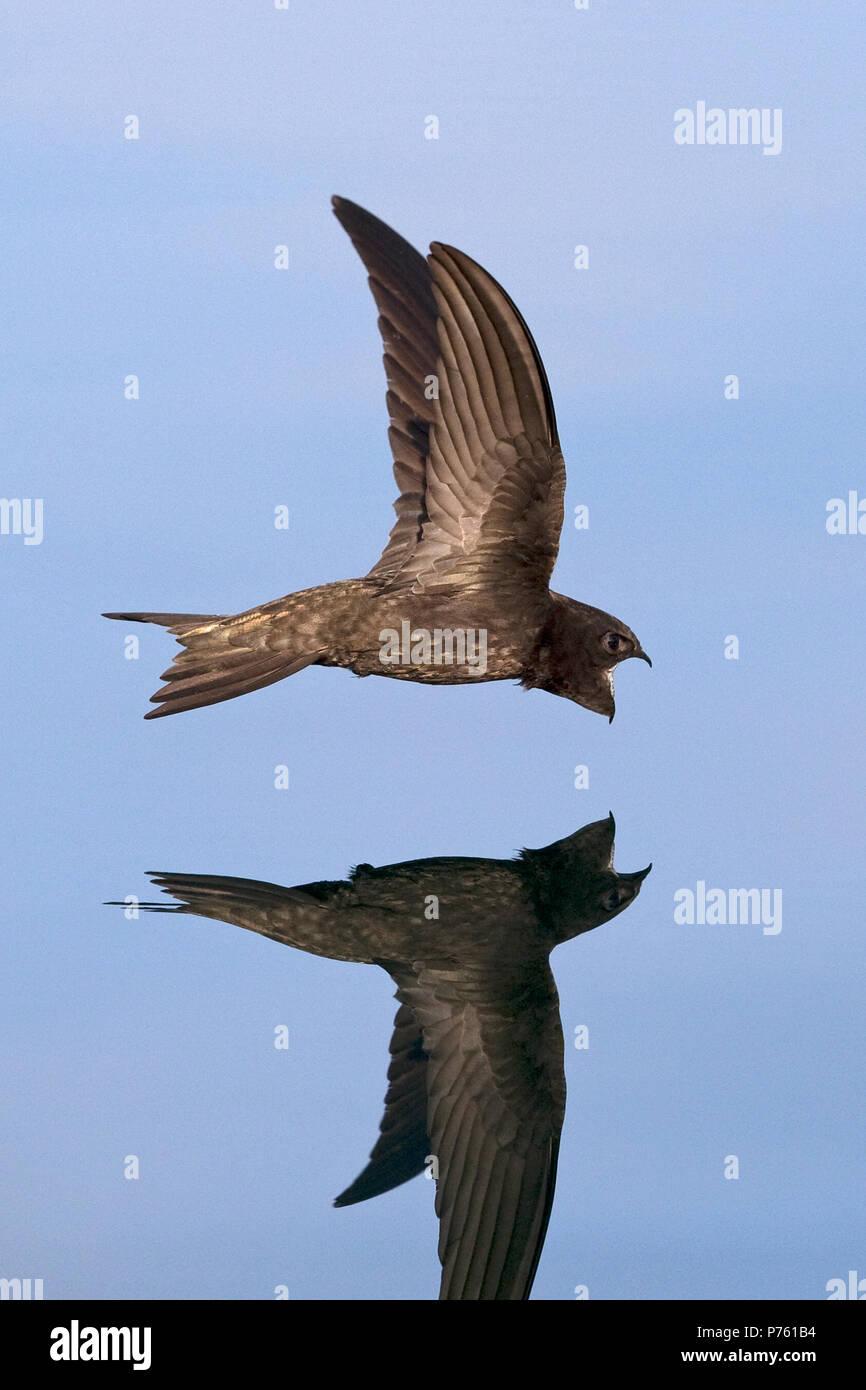 Common Swift (Apus apus) - Stock Image