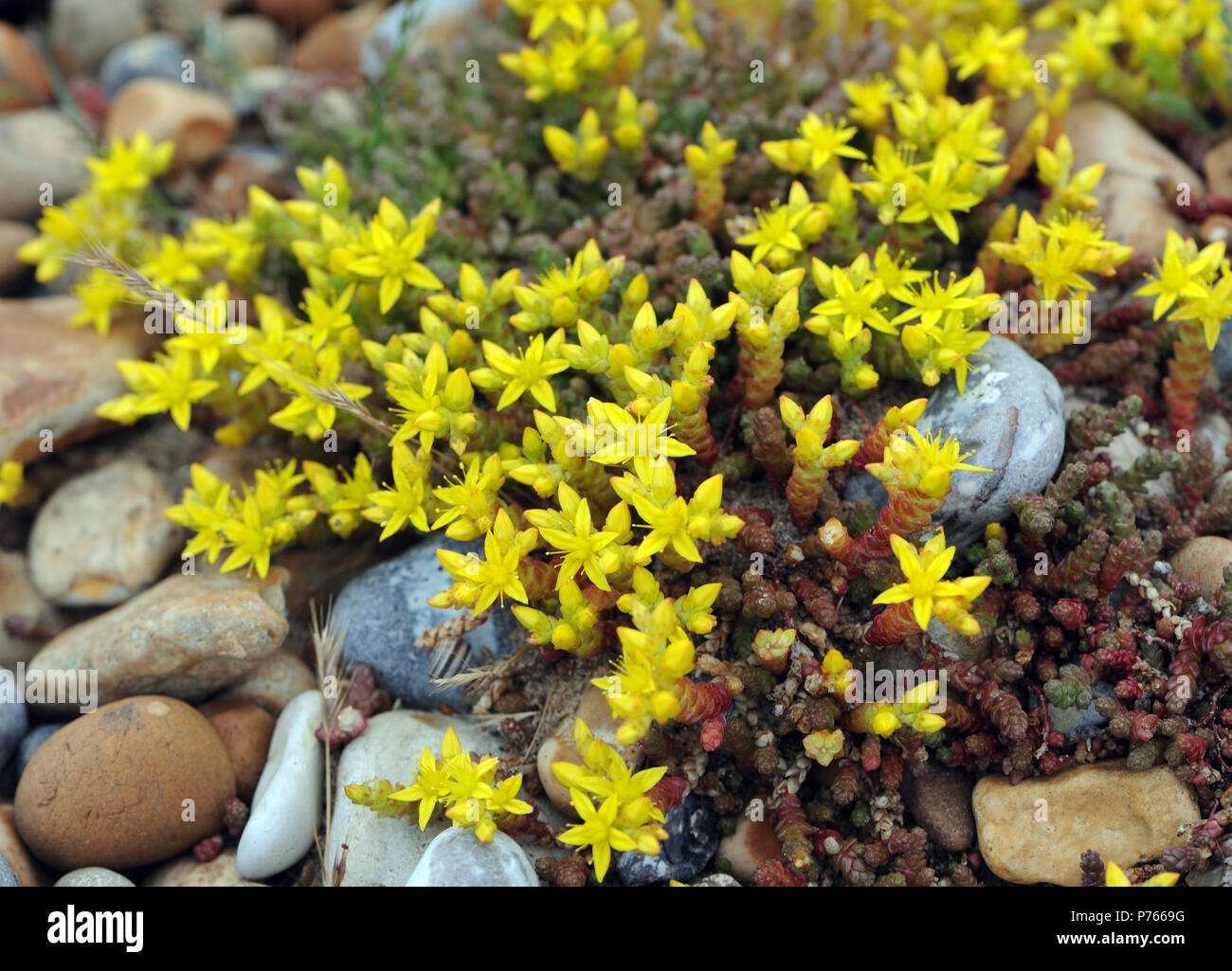 The Yellow Flowers And Green Succulent Stems Of Biting Stonecrop Or