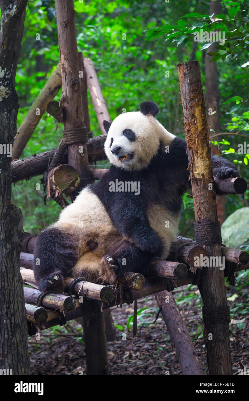 Giant Panda lying down on wood in Chengdu, Sichuan Province, China - Stock Image