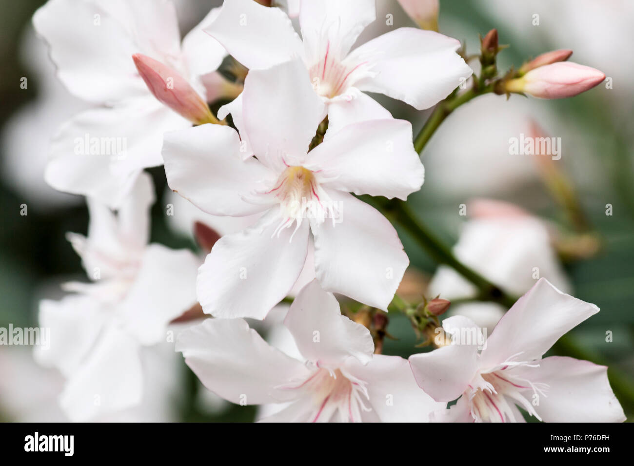 White Oleander Flowers Stock Photo 210969349 Alamy