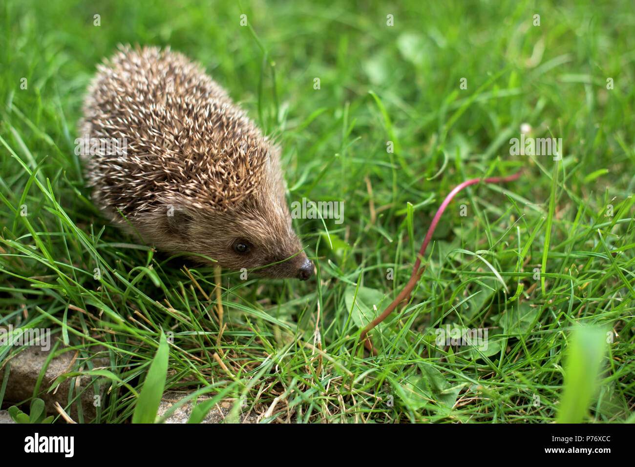 Small hedgehog in a garden - close up - Stock Image