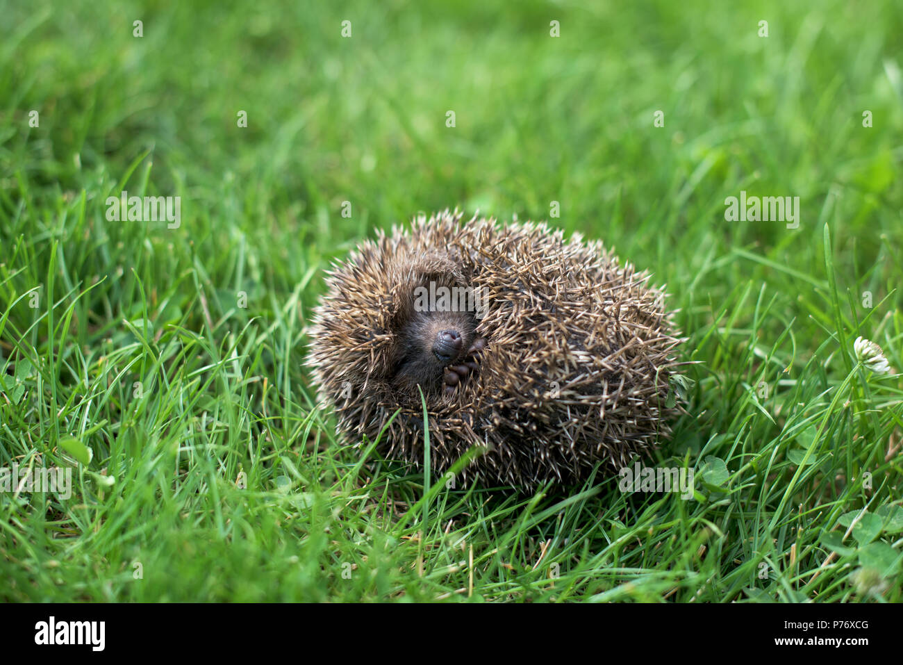 Small hedgehog in a ball in a grass - Stock Image