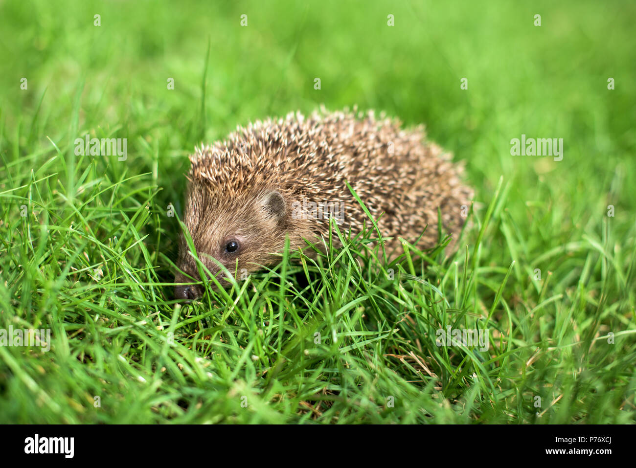 Small hedgehog in a green grass - profile close up - Stock Image