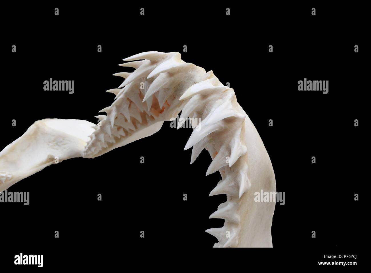 Shortfin Mako Shark (Isurus oxyrinchus) Upper Jaw - Stock Image