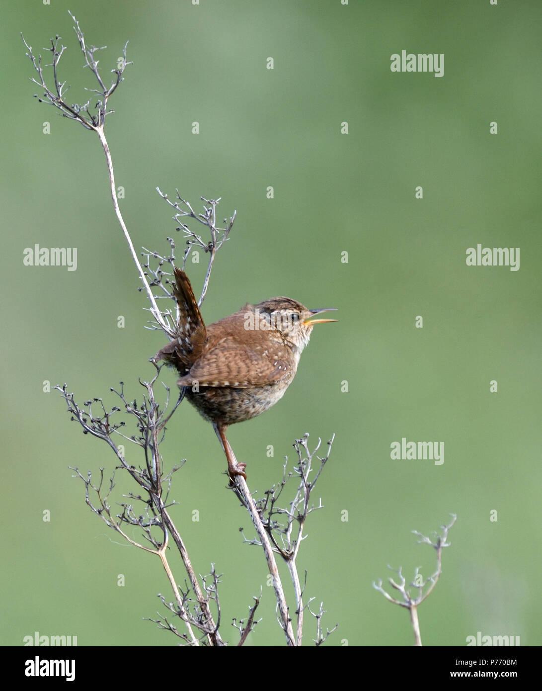 A wren (Troglodytes troglodytes) singing on dry plant stem. Ballycastle, Antrim, Northern Ireland. - Stock Image