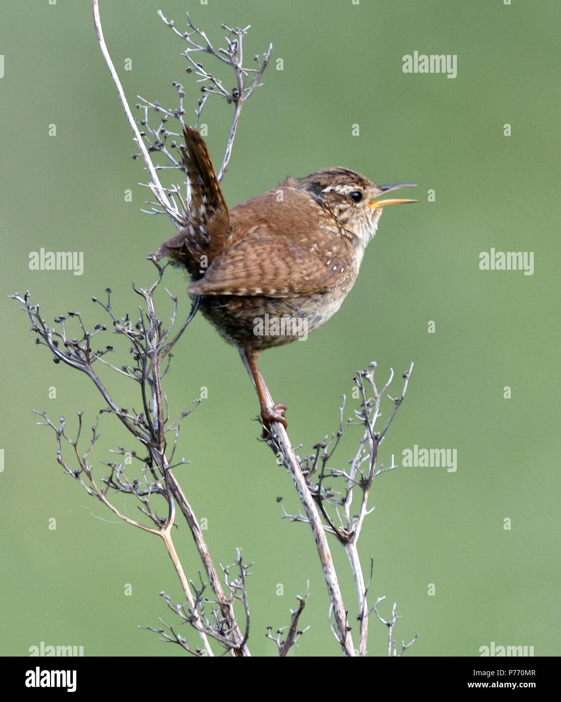 A wren (Troglodytes troglodytes) singing on dry plant stem. Ballycastle, Antrim, Northern Ireland. - Stock Image