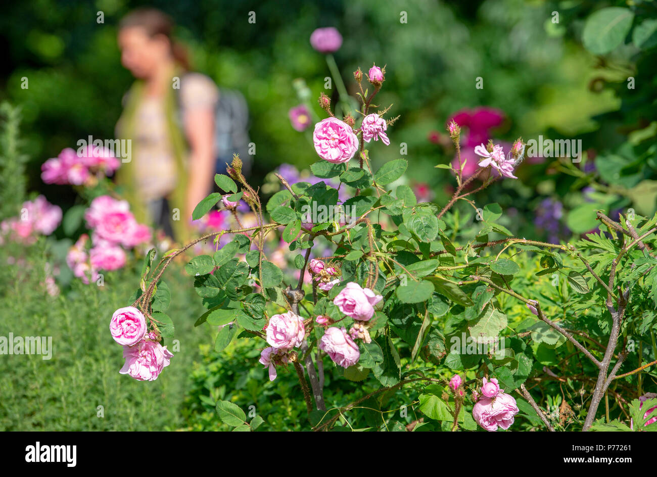 Pink roses growing and in full bloom in Pavilion Gardens Brighton - Stock Image