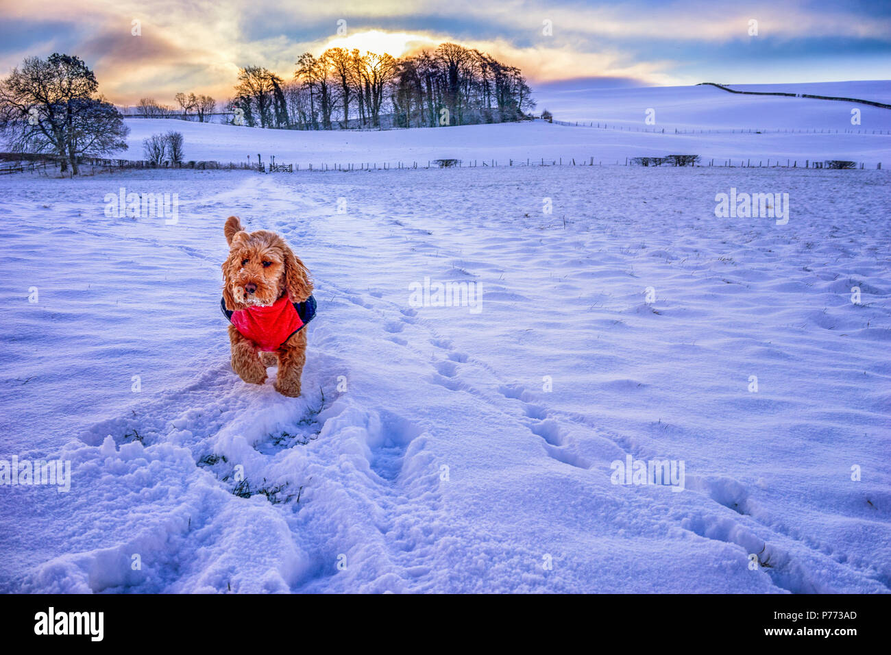 Cute dog wearing red coat walking through a snowy field - Stock Image