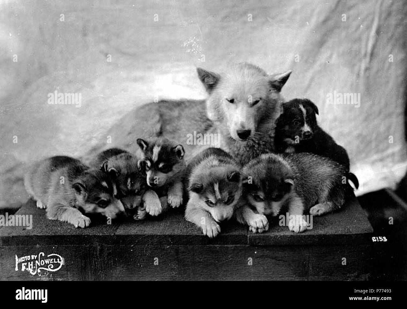 Alaskan Malamute Black and White Stock Photos & Images - Alamy