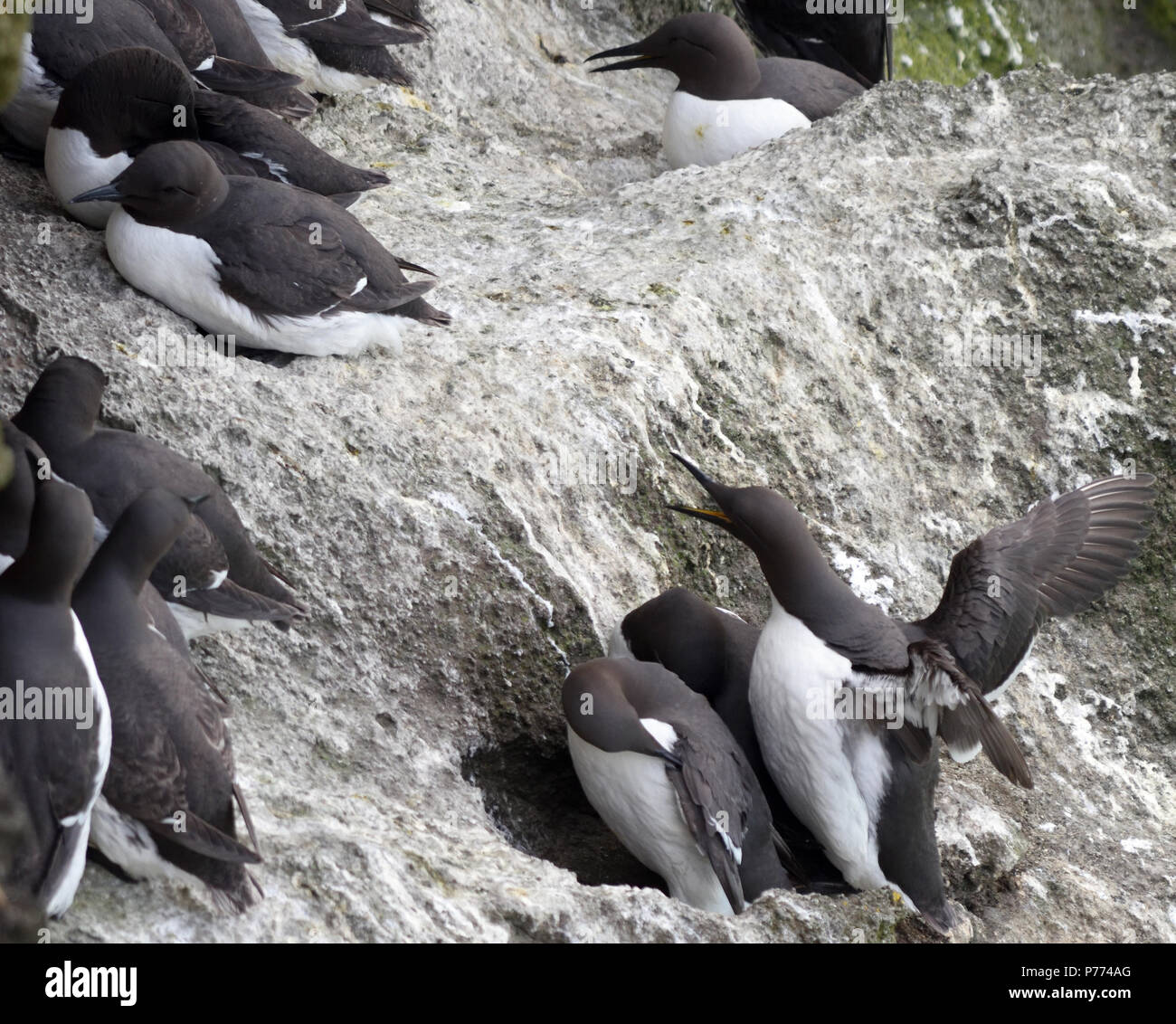 Guillemots (Uria aalge) at their nests on ledges on the basalt sea cliffs at Carrick-a-Rede. Carrick-a-Rede, Ballycastle, Antrim, Northern Ireland. - Stock Image
