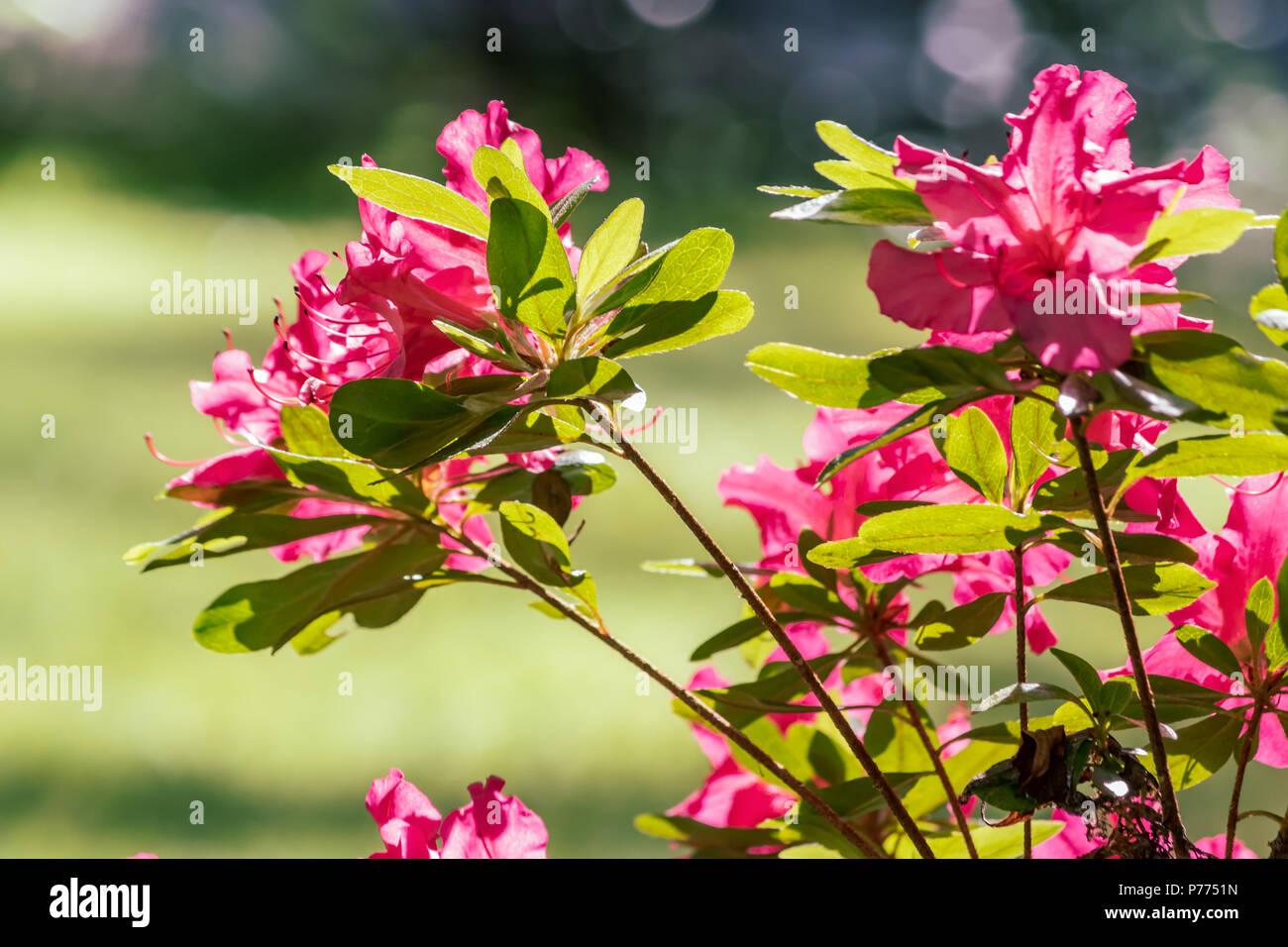 Pink Flowers On A Bush Stock Photo 210984641 Alamy